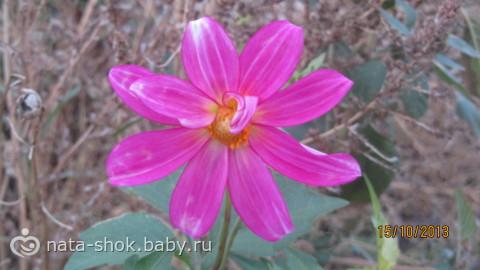 Вот такой цветок распустился у меня сегодня (!) в саду 15 октября!