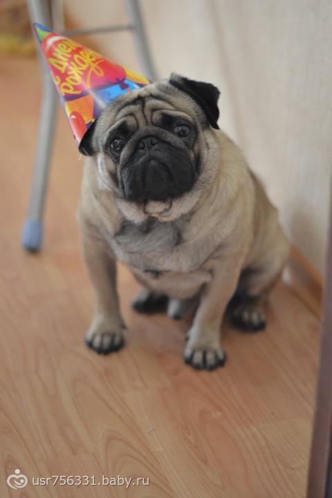 мопс картинки с днем рождения