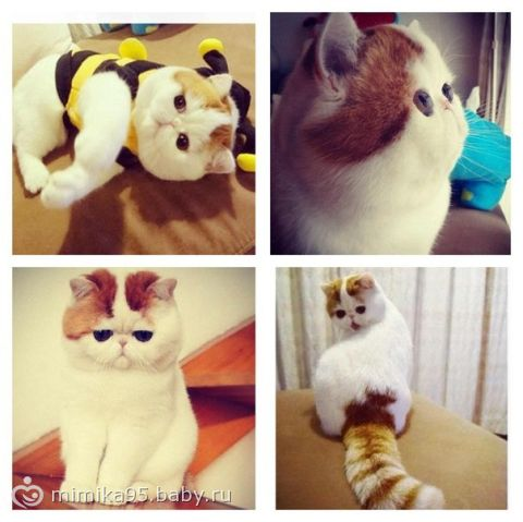 Что за порода кошки?? подскажитеее
