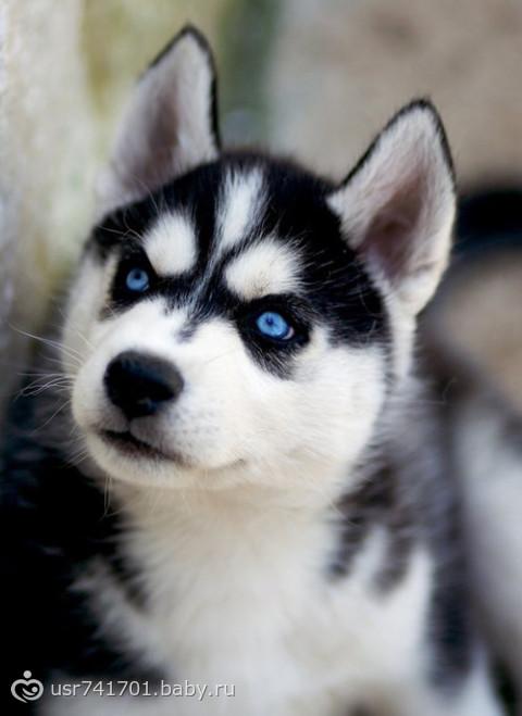 породы собаки хаски фото