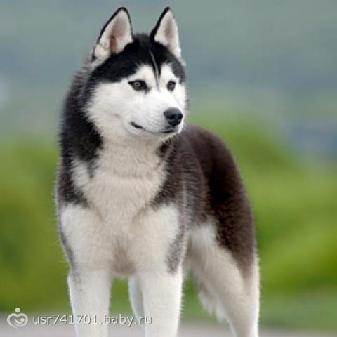 собака породы хаски фото