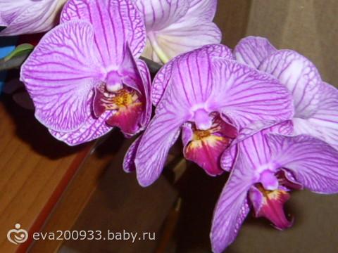 цветение орхидей (фаленопсис)