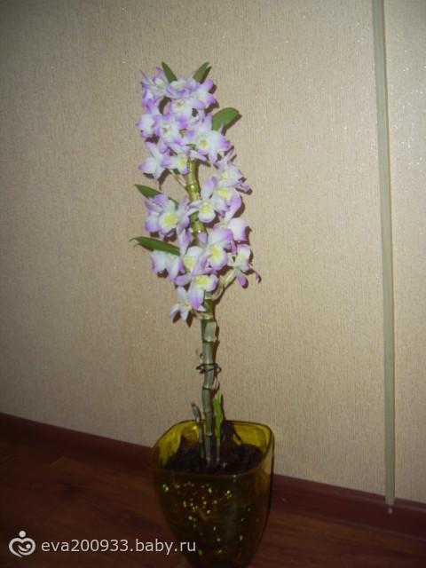 мои орхидеи. Купила себе Дендробиум(разновидность орхидей)