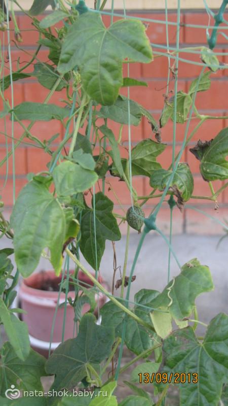 Мой опыт выращивания овощей с известного китайского сайта+ фото огромной гусеницы)